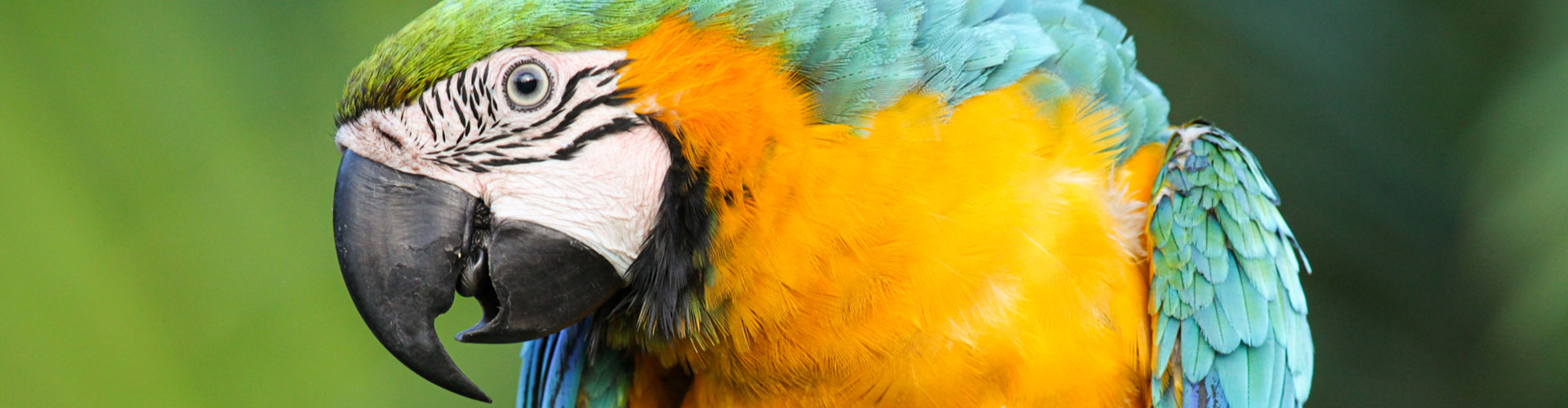 Foto: Papagei gelb blau