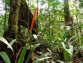 Foto: bemooster Baumfuß eines Riesenbaumes im Regenwald mit roter Blüte einer Blattpflanze im Vordergrund
