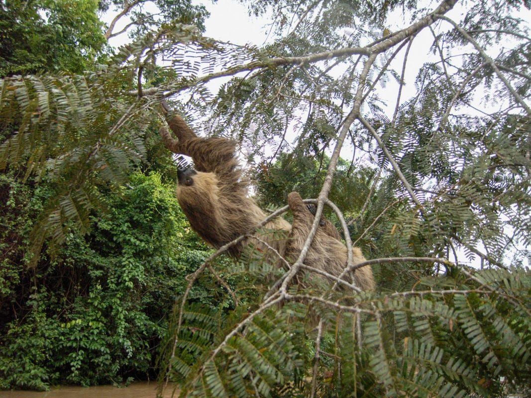 Foto: Faultier hängend im Baum