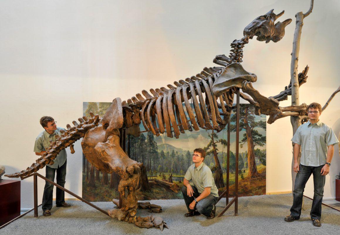 Foto: aufgebautes Skelett eines Riesenfaultieren mit Person