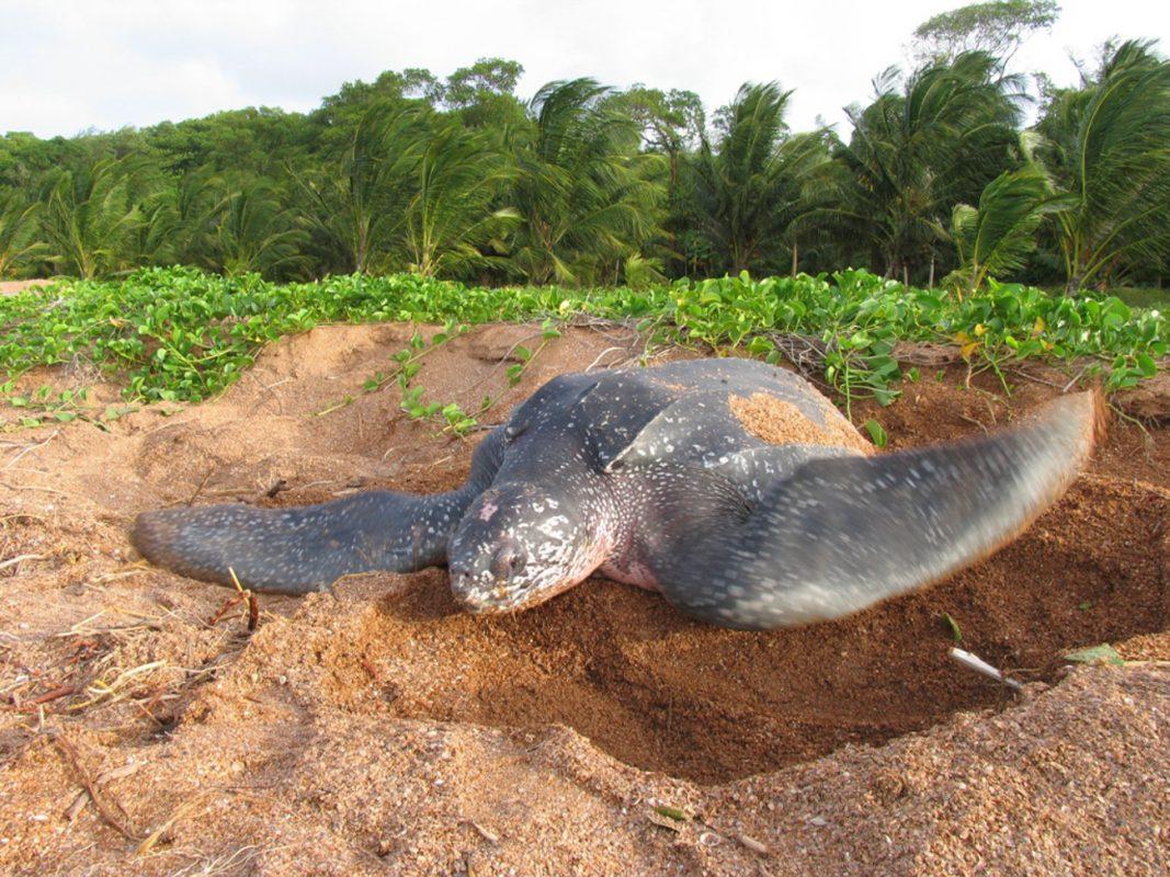 Foto: Riesenschildkröte in einer Sandmulde