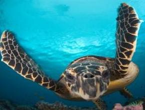 Foto: Meeresschildkröte schwimmend in blauem Wasser