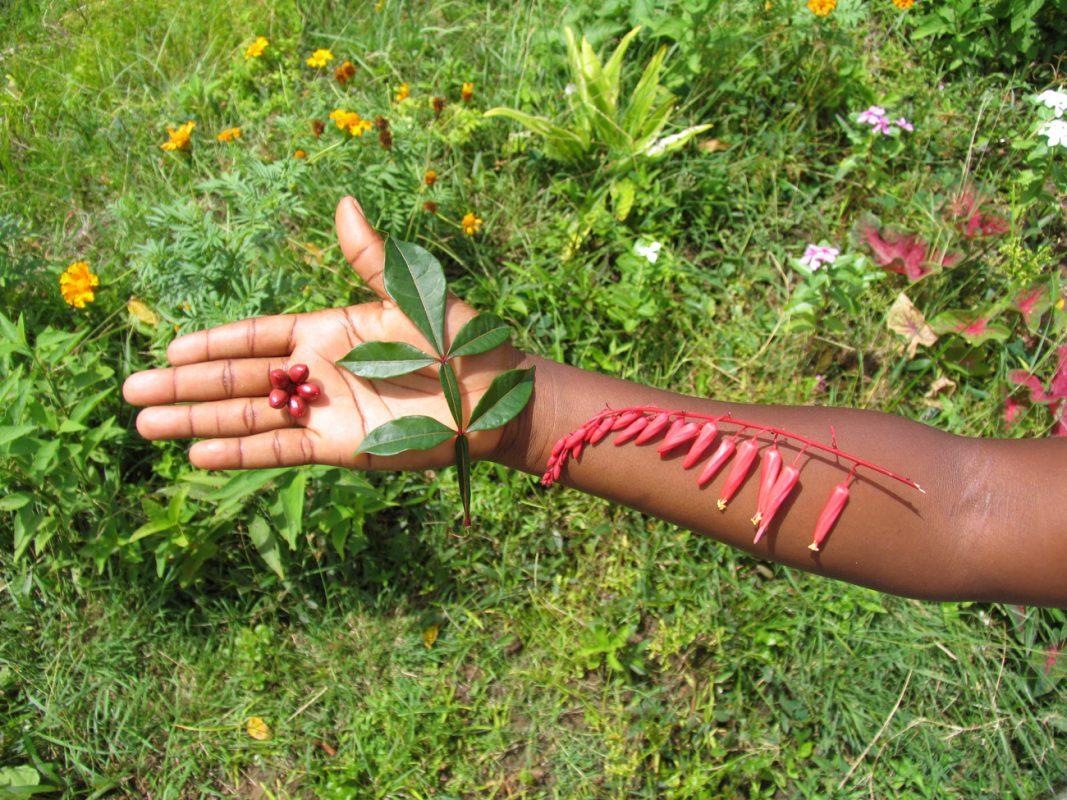 Foto: Blätter, Blüten und Früchte des Bitterholzes auf einer Hand und Unterarm ausgebreitet