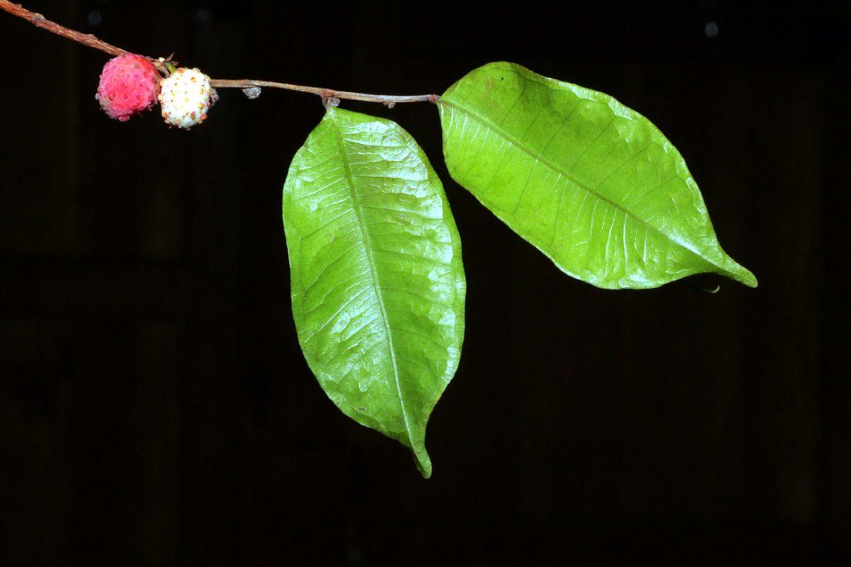 Foto: grüne Blätter mit Früchten am Zweig vor schwarzem Hintergrund